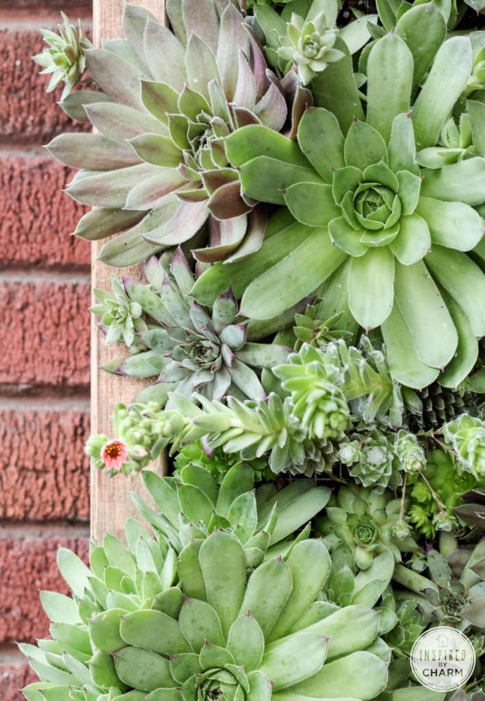 Hens and Chicks Wall Planter via Inspired by Charm