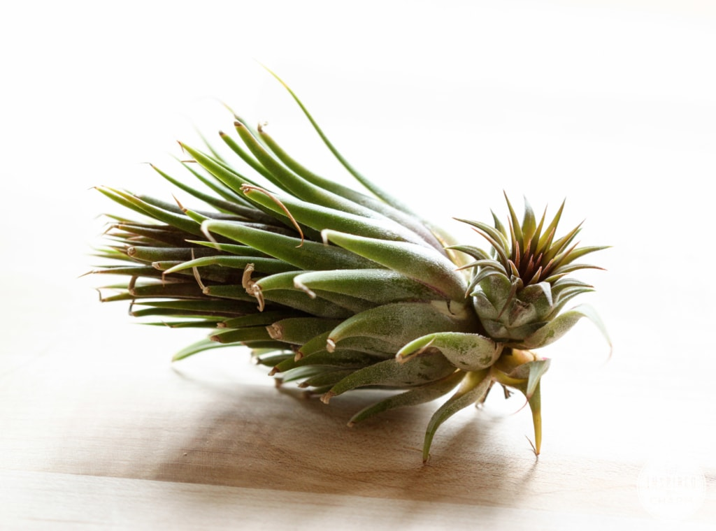 Air Plant Giveaway | Inspired by Charm #31daysofhome