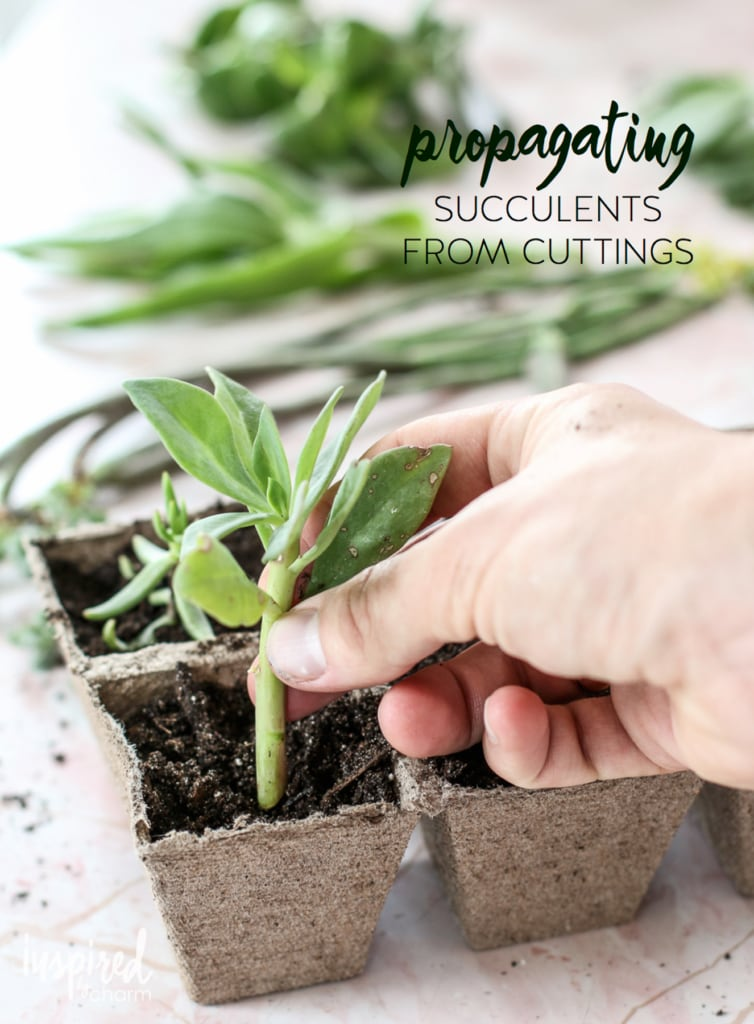 Succulent Propagation | Inspired by Charm