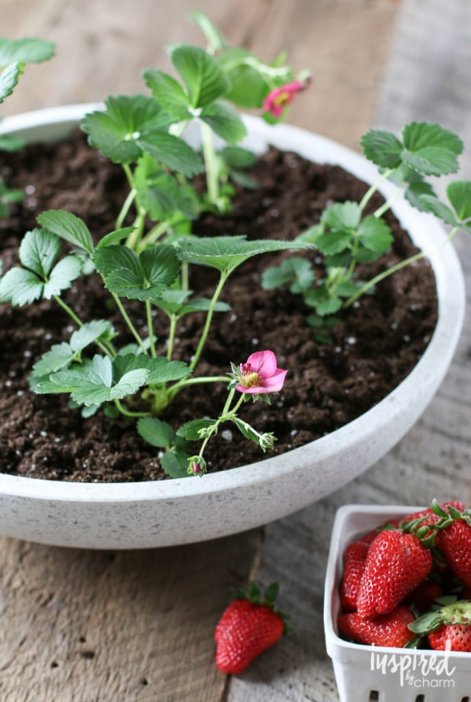 Strawberry Planter | Inspired by Charm
