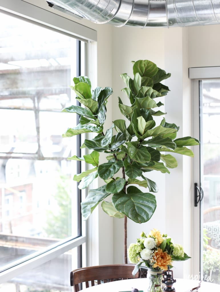 Fiddle Leaf Fig Treat - My Apartment Dining Room | Inspired by Charm