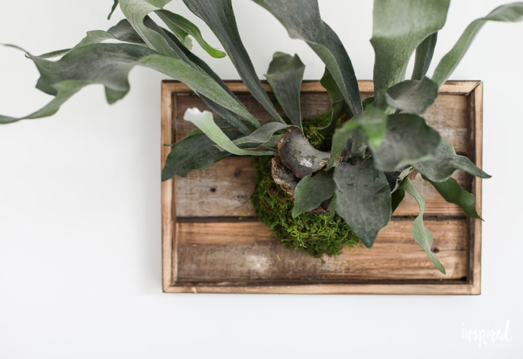 Learn how to make this DIY Mounted Staghorn Fern! #planting #diy #staghorn #fern